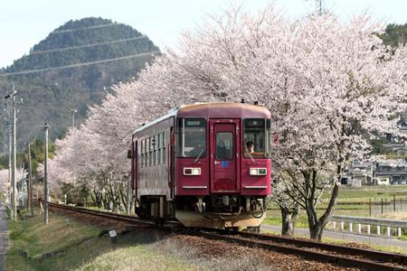 Sakura33
