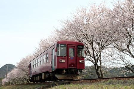 Sakura35
