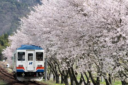 Sakura36