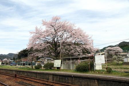 Sakura40