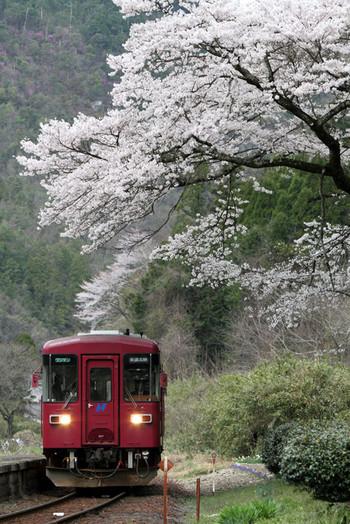Sakura42