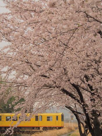 Sakura102