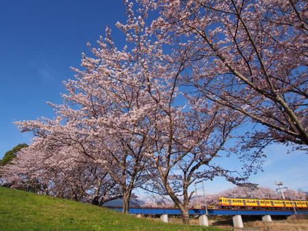 Sakura103
