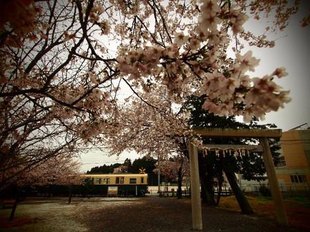 Sakura110