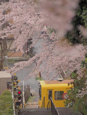 Sakura111