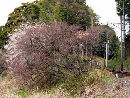 Kikumomo03