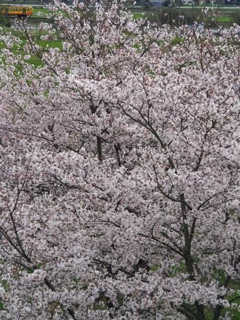 Sakura123