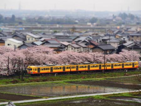 Sakura124