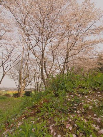 Sakura130
