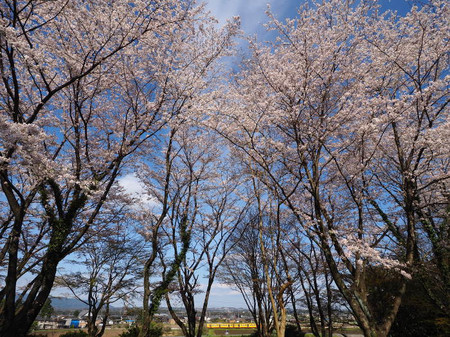 Sakura25
