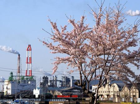Sakura50