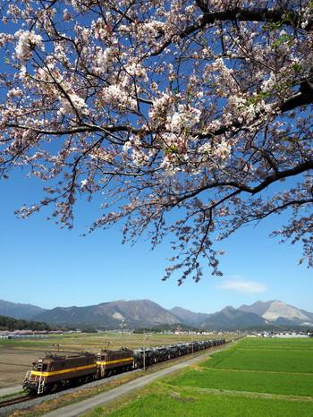 Sakura52
