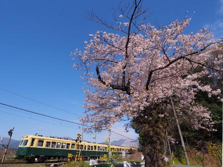 Sakura53