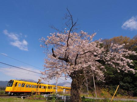 Sakura54