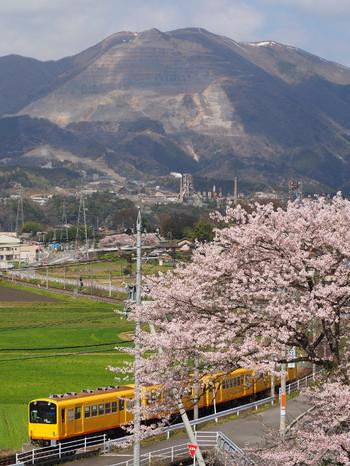 Sakura55