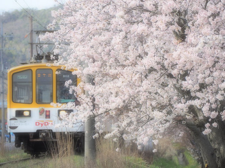 Sakura60