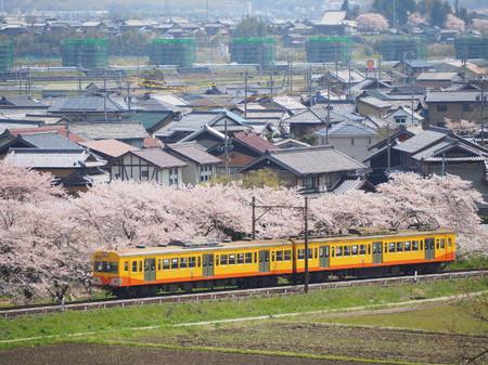 Sakura66