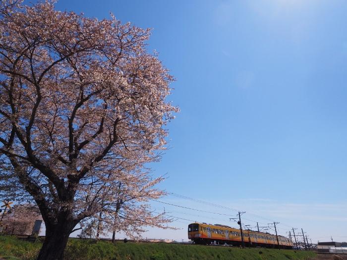 Hazakura06