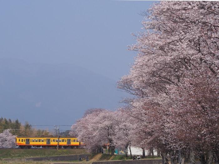 Hazakura07