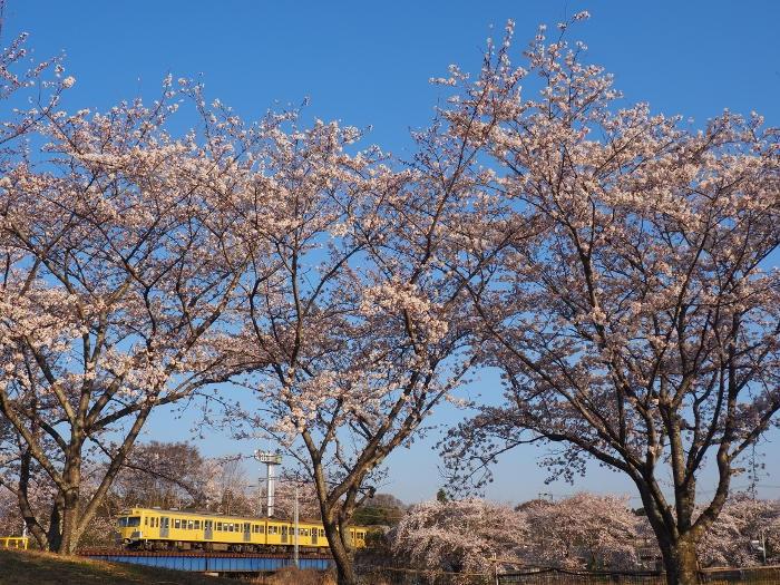 Sakura113