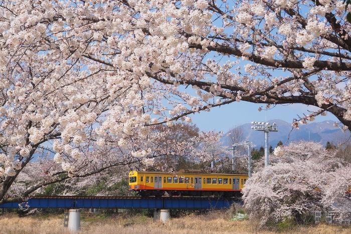 Sakura117