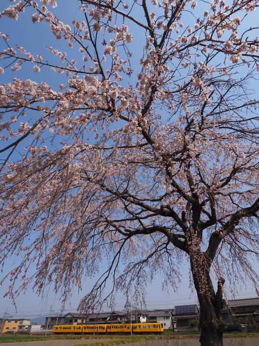 Sakura118