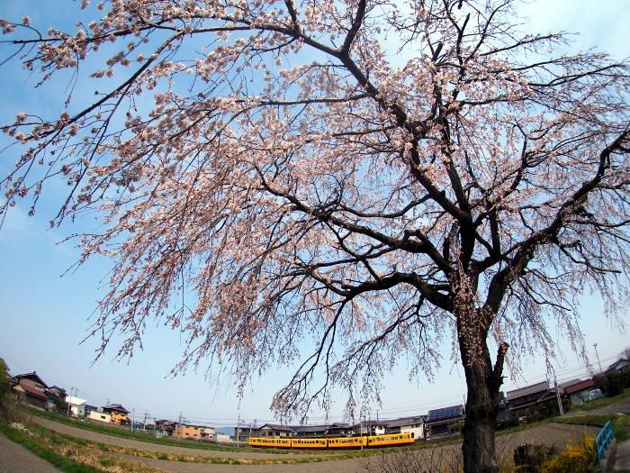 Sakura119