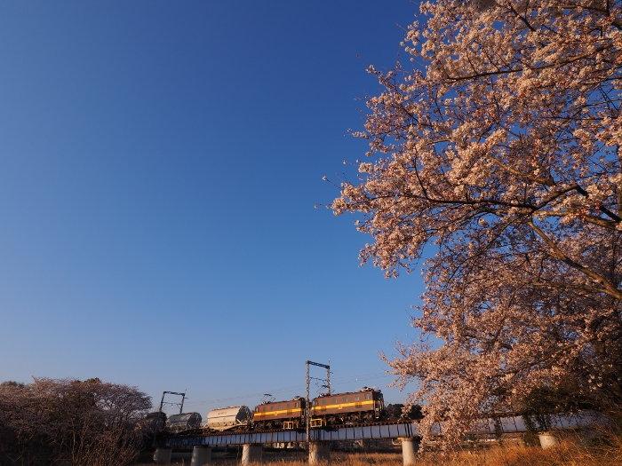 Sakura150