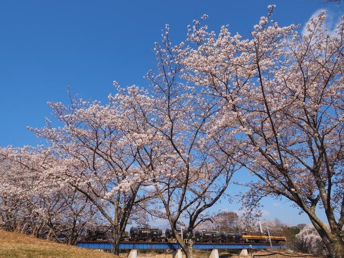 Sakura151