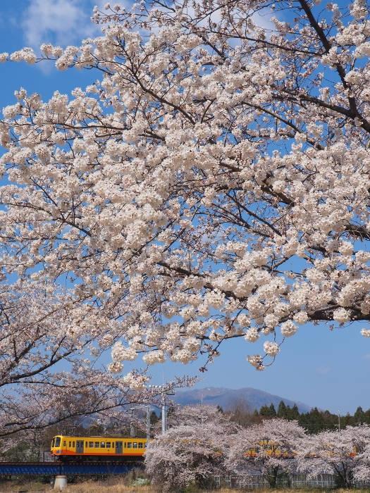 Sakura152