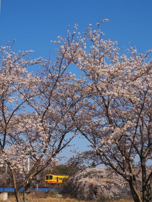 Sakura153