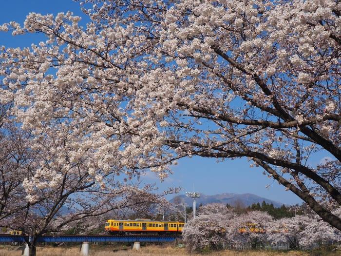 Sakura154