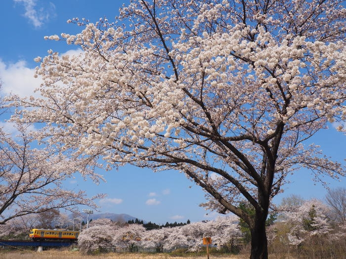 Sakura155