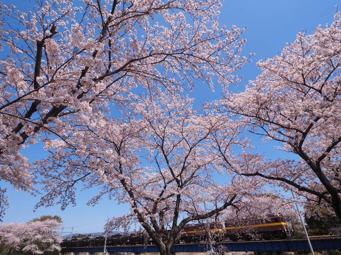 Sakura162