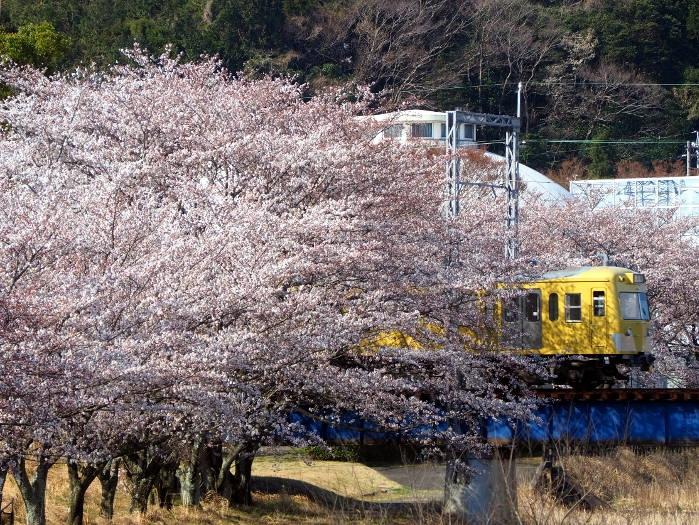 Sakura51