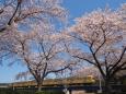 Sakura163