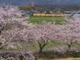 Sakura164
