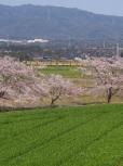 Sakura165
